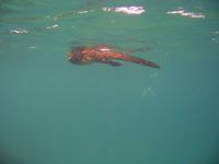 Iguana_swimming